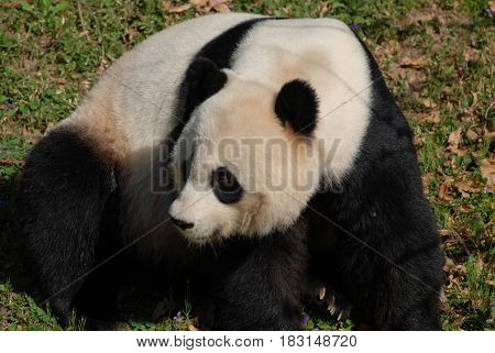 Cute giant panda bear looking back over his shoulder.
