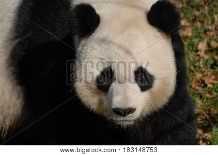Amazing giant panda bearwith a solemn facial expression.