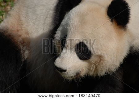 Amazing fluffy face of a black white Chinese panda bear.