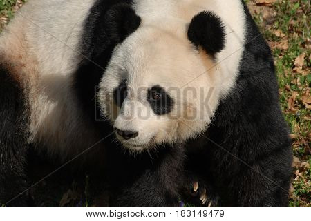 Beautiful face of a giant panda bear up clsoe.