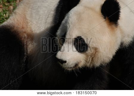 Close up look at the face of a giant panda bear.