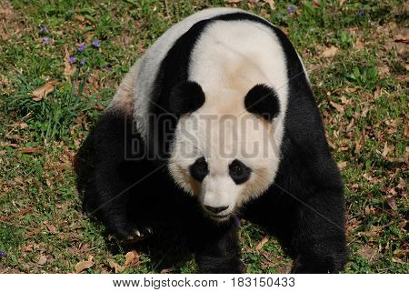 Cute Chinese panda sitting around in the wild.