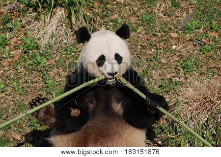 Panda bear eating a bamboo shoot fromt he center.
