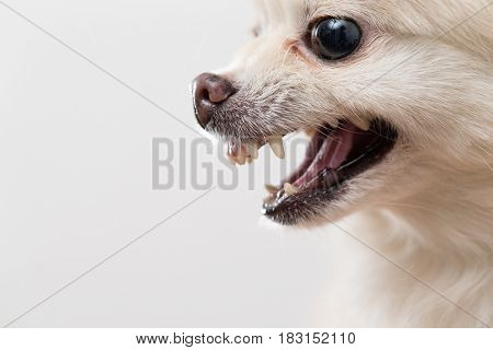 Side profile of Pomeranian showing teeth