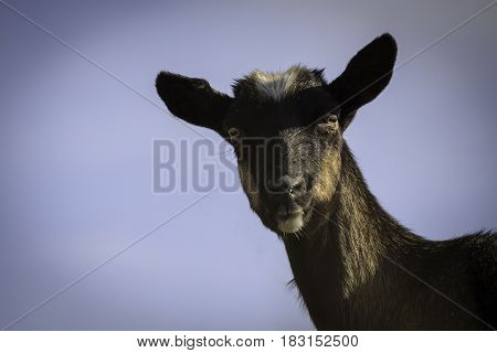 Portrait of a black goat without horns. Farm animal.