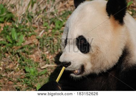 Beautiful up close look at a giant panda bear with bamboo.