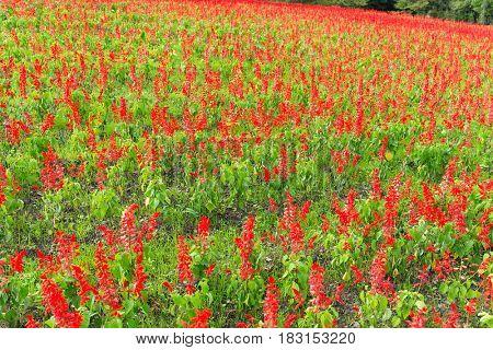 Garden with Salvia plant