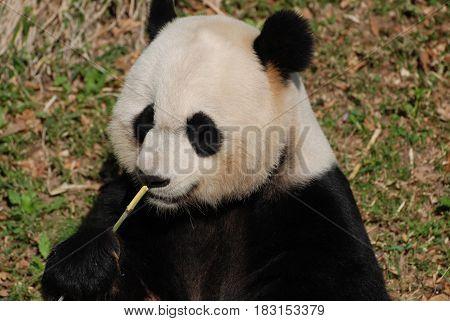 Amazing cute panda bear with bamboo shoots.