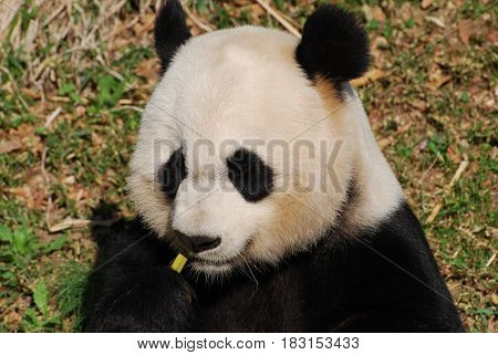 Cute giant panda bear eating some green bamboo shoots.