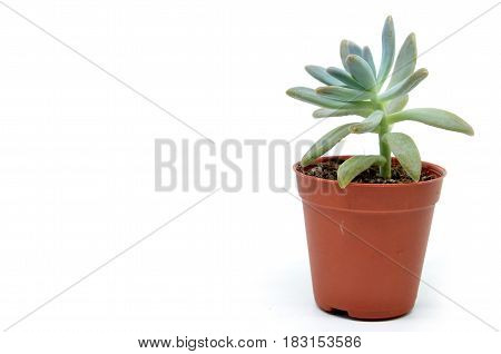 Sedum Succulent Plant With Green Fleshy Leaves
