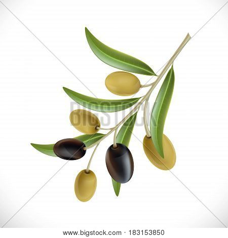 Branch of the olive tree with berries. Isolated on white background. Stock Vector Illustration