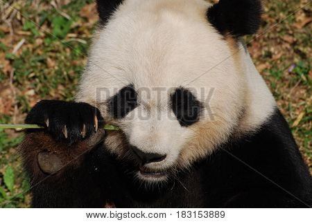 Beautiful look at a giant panda bear.