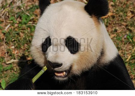 Really cute giant panda bear eating on a green bamboo shoot.