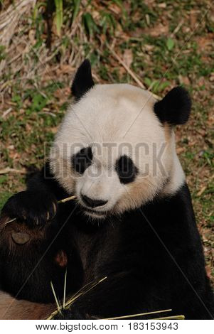 Cute panda bear holding bamboo while he is eating it.