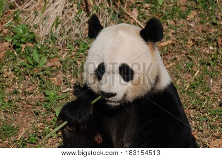 Giant panda bear eating a green shoot of bamboo.