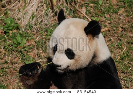 Hungry panda bear holding on to shoots of bamboo.