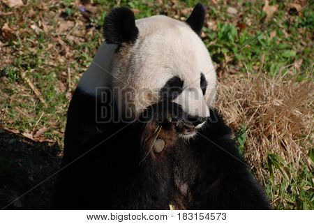 Adorable panda bear snacking on bamboo shoots.
