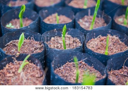 planting green coconut growth  In a black bag .