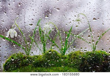 Background of glass and drops of rain, then three snowdrops in bloom. Selective focus.