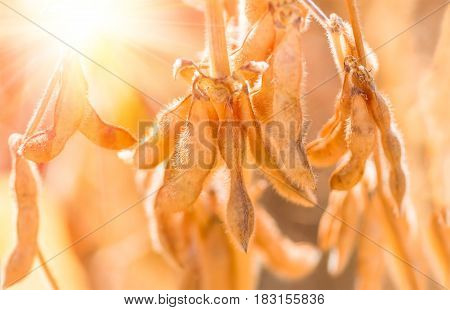 Soybean pods on the sunny field. Agricultural soy plantation background on sunny day. Soybeans ripened against sunlight.