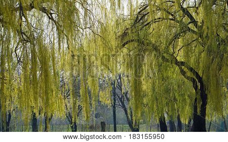 the picture shows weeping willows in the spring