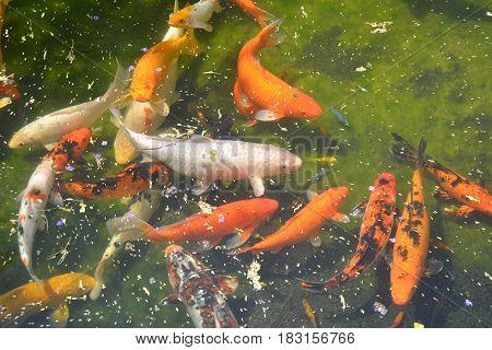 Koi fish in pond. Miami botanical garden