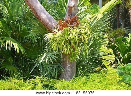 Platycerium Fern On Tree