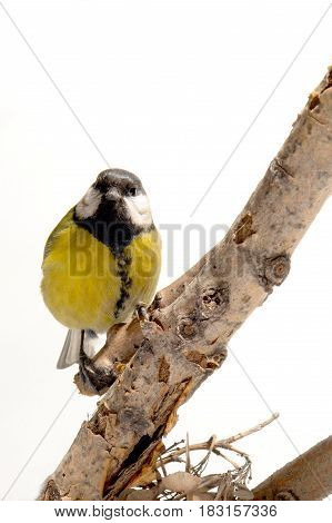 Titmouse  on a branch on a white background
