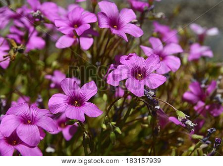 Geranium maderense, Madeira cranesbill plant growing wild in Teide National Park of Tenerife,Canary Islands, Spain.Pink geranium flowers.