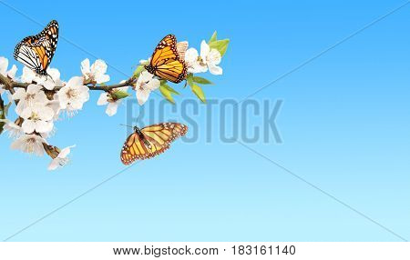 Flowers of cherry and monarch butterflies (Danaus plexippus, Nymphalidae). On blue sky background