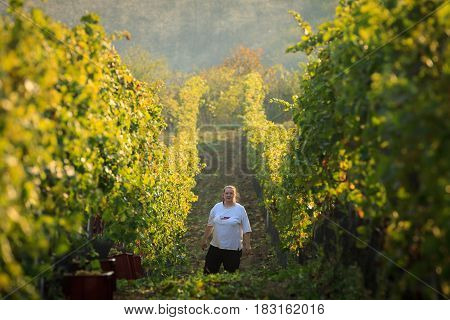 Kyjov Czech Republic 15 October 2016 - Women grape harvesting for wine Moravia.