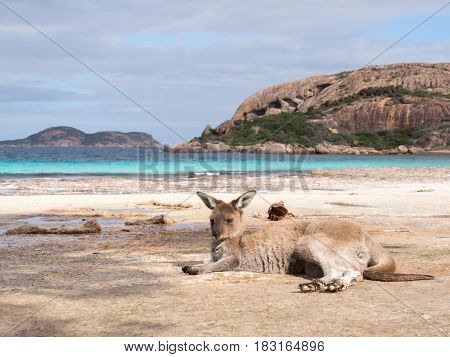 Kangaroo on the beach at Lucky Bay, Cape Le Grand National Park, Western Australia