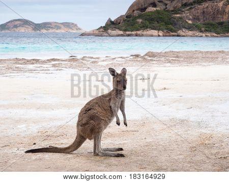 Kangaroo on the beach at Lucky Bay, Cape Le Grand National Park, Western Australia