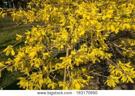 Flowering Forsythia Shrub In The Park In Spring