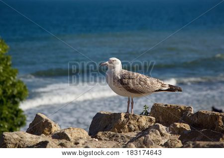 Large seagull sits on a rock against the background of the sea.