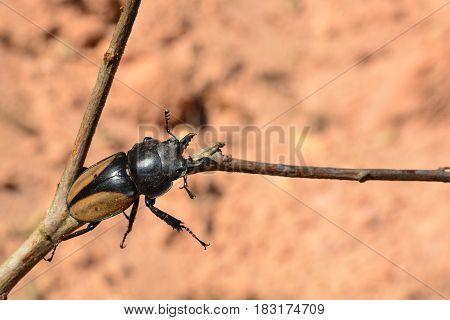 Rhinoceros beetle Rhino beetle Hercules beetle Unicorn beetle Horn beetle