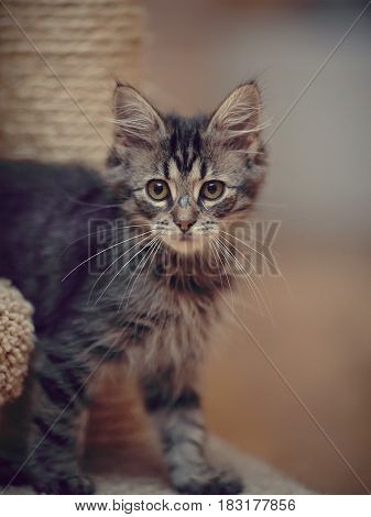 Portrait of a striped fluffy kitten with white moustaches