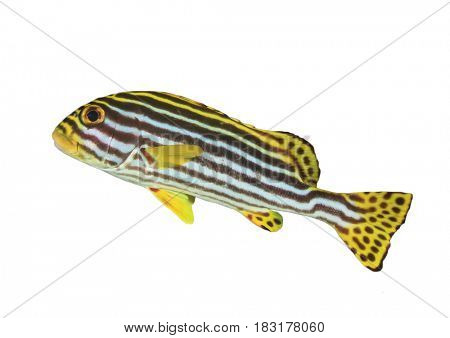 Oriental Sweetlips fish isolated on white background