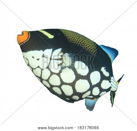 Clown Triggerfish fish isolated on white background