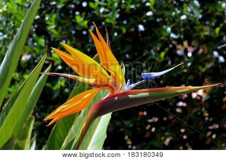 Flowering plant strelitzia reginae also known as strelitzia crane flower or bird of paradise