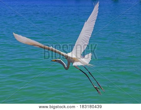 The great egret (Ardea alba) also known as the common egret large egret or (in the Old World) great white heron
