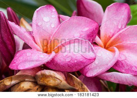 Closeup To Pink Frangipani/ Pagoda/ Temple Tree/ Plumeria Spp./ Apocynaceae