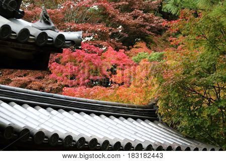 Red maple leaves typical of Autumn foliage in Japan's ancient capital Nara