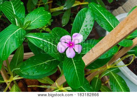 Closeup To Madagascar Periwinkle/ Vinca/ Old Maid/ Cayenne Jasmine/ Rose Periwinkle/ Catharanthus Ro