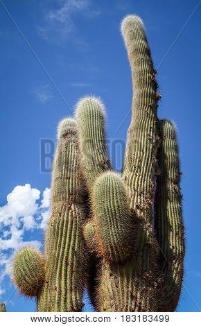 Giant Cactus In The Desert, Argentina