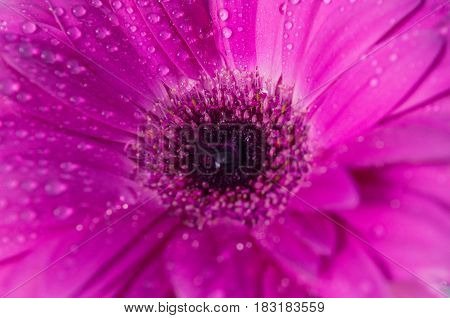 Beautiful purple (magenta) flower background texture close up.purple gerbera with dew drops on top. Purity concept.