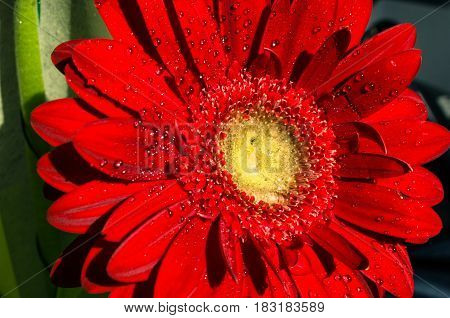 Beautiful red flower on green background .bright red gerbera with dew drops on top. purity concept.