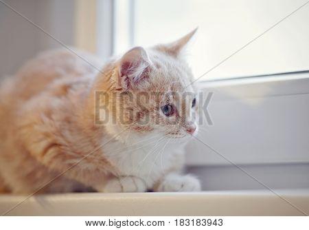 Portrait of red tabby kitten on the windowsill