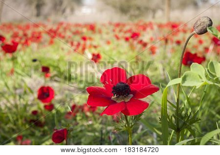 Red anemones in the Negev desert cover the land as a live carpet. These flower meadows attract a lot of visitors.