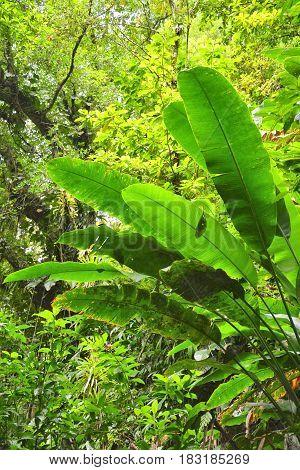 Rainforest in Dominica Caribbean island. Lush green foliage